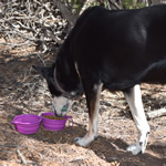 Purple Collapsible Dog Bowl