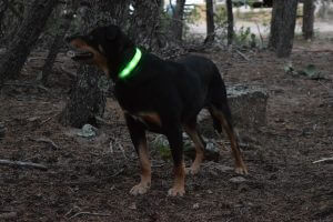 Levi with Green LED Collar