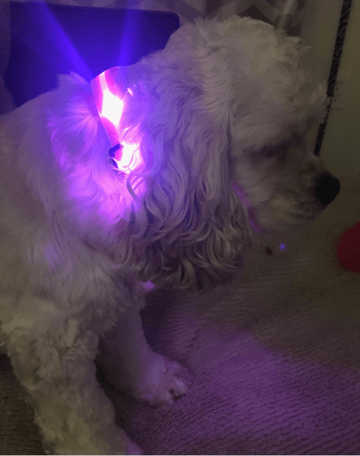 Layna Mae with Pink LED Collar