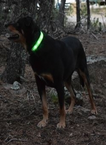 This is Levi, the bright LED collar makes it easy to see him at night, even in the trees.